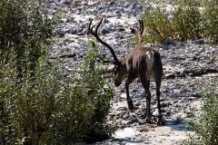 Day-05-Caribou-Savage-River-Denali-National-Park
