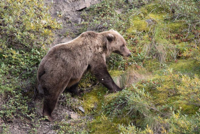 Day-06-Denali-Wildlife-Grizzly-Bear