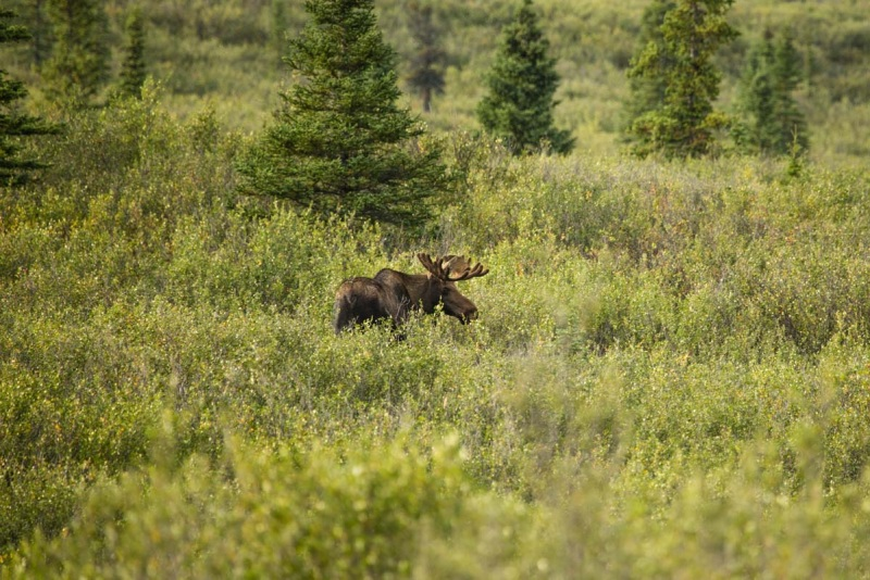Day-06-Denali-Wildlife-Moose