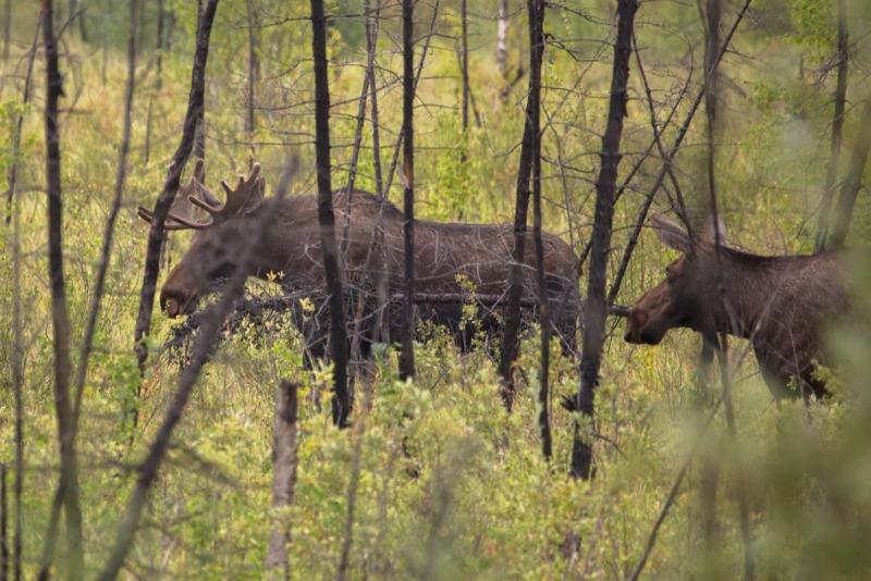 Day-07-Moose-in-the-Woods-Parks-Highway-Alaska