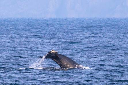 Day-16-Humpback-Whale-Kenai-Fjords