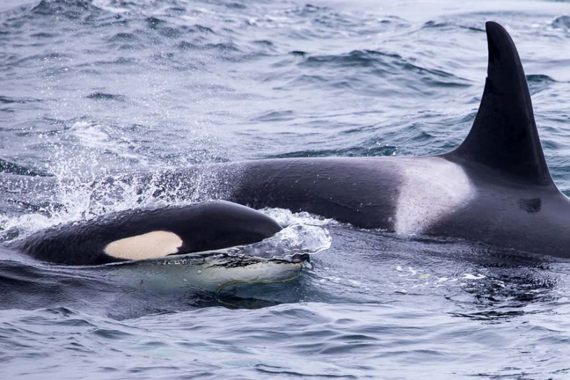 Day-16-Pod-of-Orcas-Kenai-Fjords