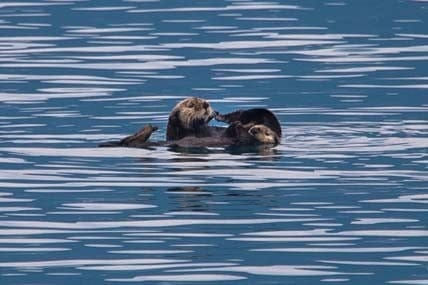 Day-16-Sea-Otters-Kenai-Fjords-National-Park