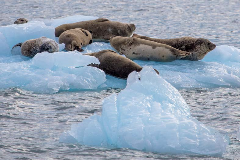 Day-16-Seals-on-Ice-Floes-Aialik-Glacier