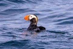 Day-16-Puffin-Kenai-Fjords-National-Park