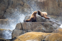 Day-16-Sea-Lions-on-Rocky-Outcrop-Kenai-Fjords