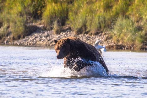 Day-18-Bear-Fishing-Douglas-River-Katmai-Alaska