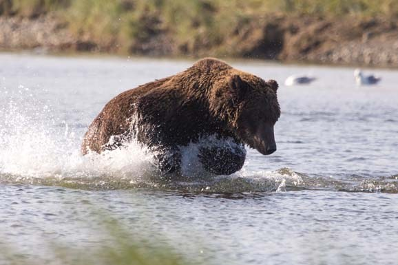 Day-18-Bear-Fishing-Douglas-River-Katmai-National-Park