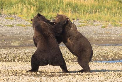 Day-18-Grizzlies-Sparring-Alaska-Bear-Adventures