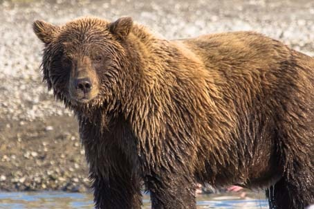 Day-18-Grizzly-Alaska-Bear-Adventures-Katmai