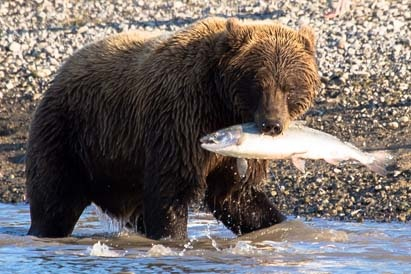 Day-18-Grizzly-With-Salmon-Alaska-Bear-Adventures