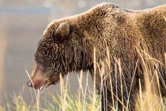 Day-18-Grizzly-Bear-Blood-Alaska-Bear-Adventures