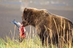 Day-18-Grizzly-Bear-Salmon-Alaska-Bear-Adventures