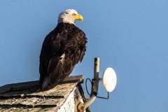 Day-19-Rooftop-Bald-Eagle-Homer-Spi-Alaska