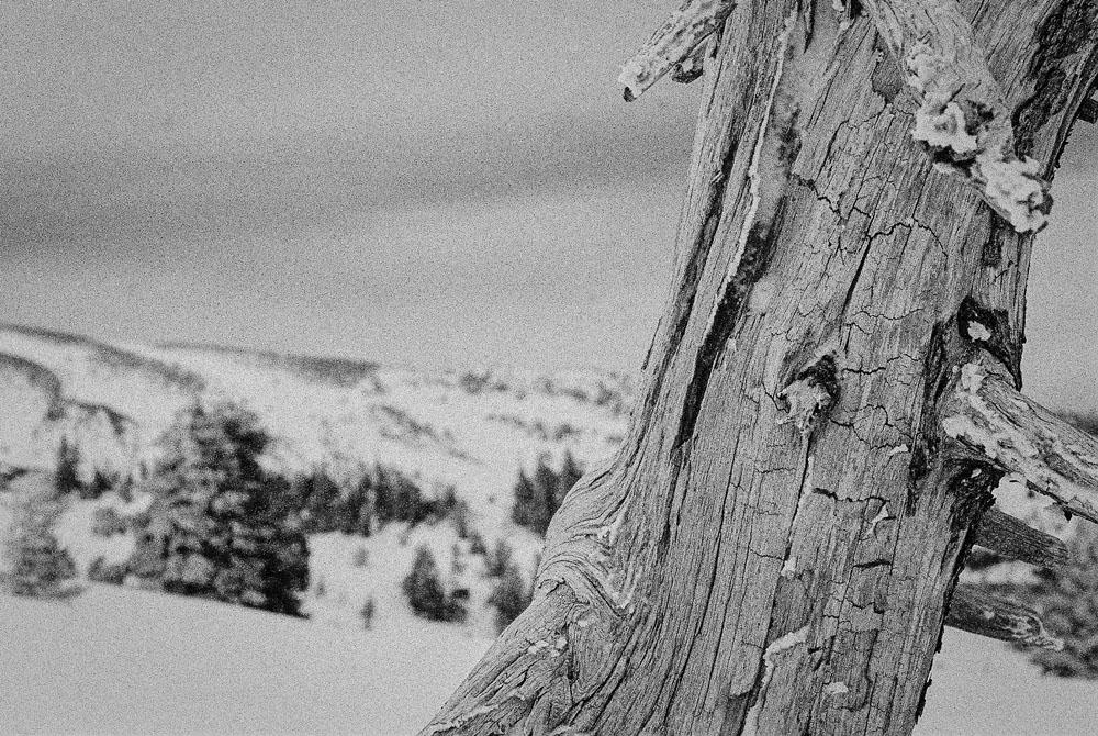 Tree At Timberline Lodge