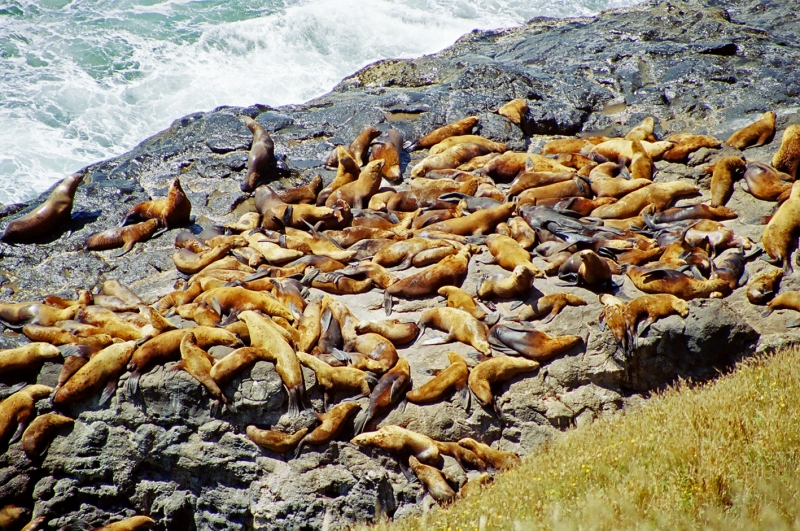 Stellar Sea Lions, Oregon