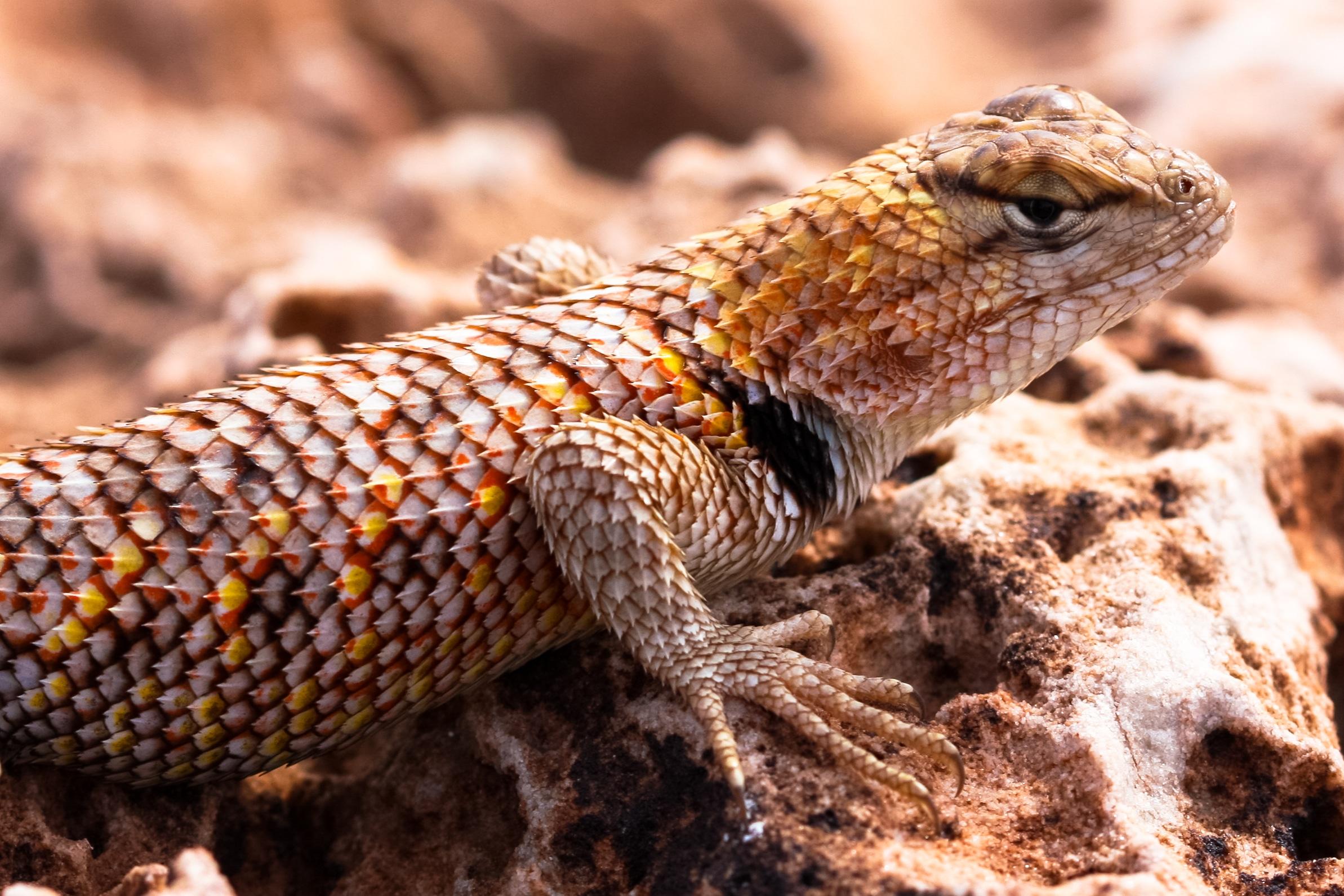 Desert Spiny Lizard, Utah