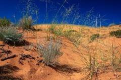 Dune Grasses, Coral Pink Sand Dunes, Utah