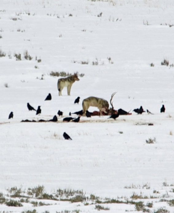 Day 7 Coyotes on a Carcass
