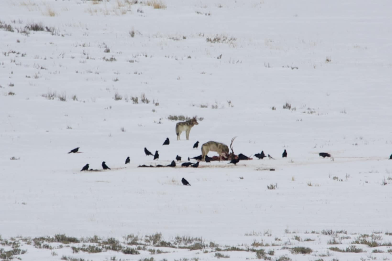 Day 7: Yellowstone Wolves Part 2